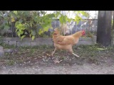 Chicken Steals Mouse From Cat