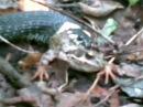Ужик ест лягушку