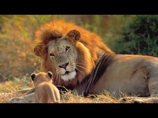 Львы. Жизнь Львов в Африке. Документальный фильм о дикой природе.
