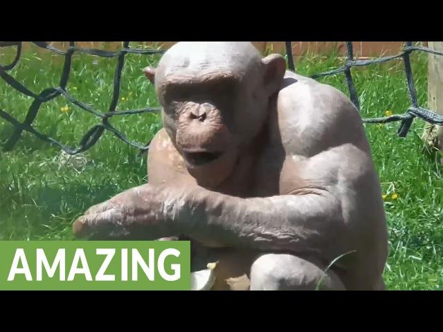 The fascinating hairless chimpanzees