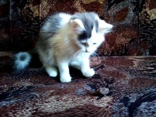 Упорный котенок оторвал пуговицу от перетяжки дивана