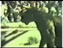 Аргентинский дог VS пума 4 (puma, dogo, собачьи бои, притравка)