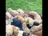 Просто много милых щеночков