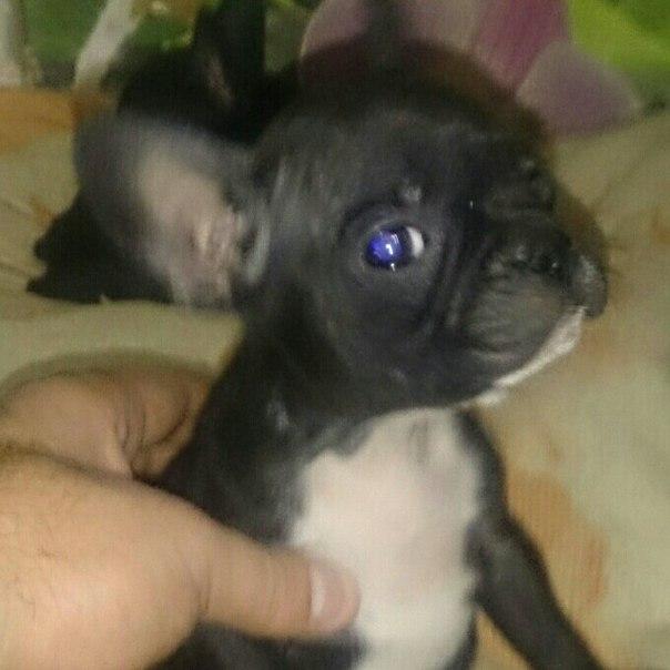 Продам щенков,, французский бульдог,,все вопросы по телефону 892327567