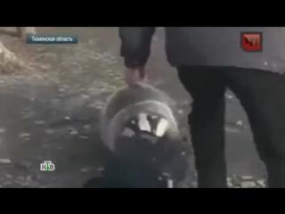 О нападениях бешеных барсуков в Тюменской области