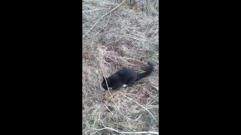 Кот охотник, поймал водяную крысу!