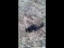Кот охотник поймал водяную крысу