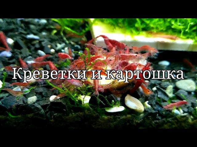 Кормление креветок картошкой the boiled potatoes eat shrimp смотреть онлайн без регистрации