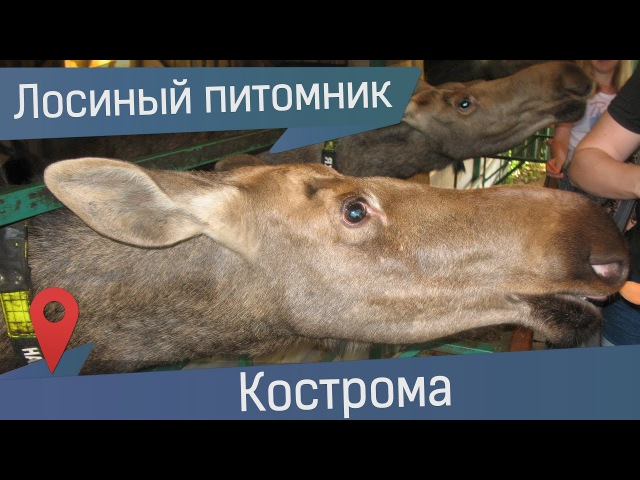 Лосиная ферма, Кострома. В гости к лосям на Сумароковскую лосеферму
