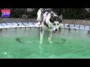 Видео Архив - Хьюго любит плавать Хаски ныряет в бассейн