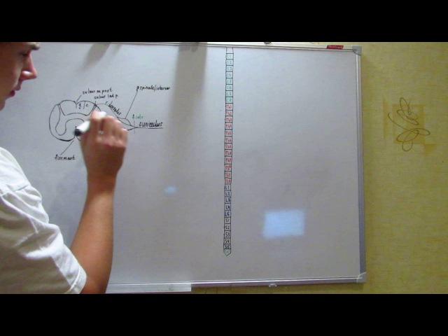 Периферическая нервная система.Спинномозговые нервы