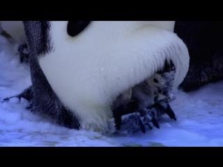 BBC. Пингвины. Шпион в стае 2-я серия. Первые шаги (Penguins - Spy In The Huddle) 2013