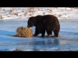 Этот медведь никогда не был так счастлив ...
