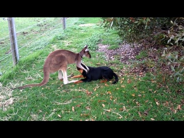 FUNNY AND CUTE KANGAROO VIDEOS COMPILATION