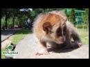 Малый лори Фельдман Экопарк / Pygmy slow loris Feldman Ecopark