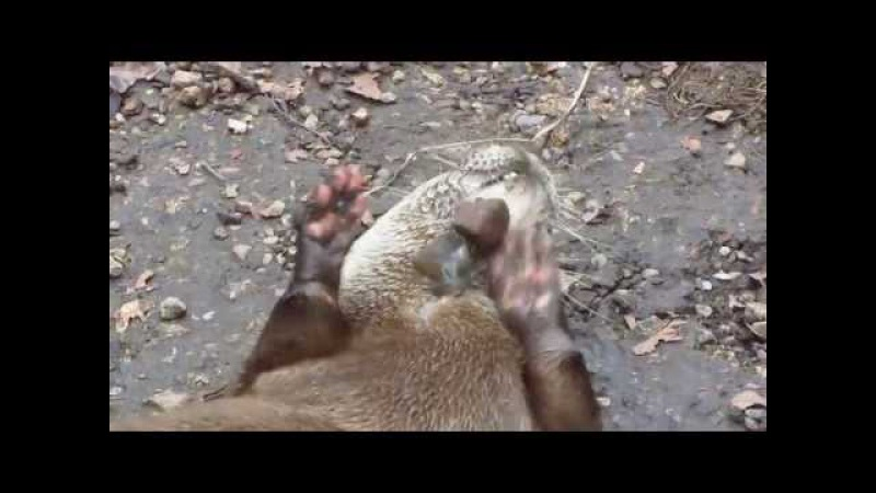 Close Up Of The Cute Stone Juggling Otter