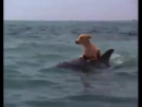 Дельфин спасает собаку от акулы