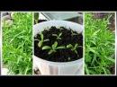 Тархун на подоконнике (часть-1) Выращивание из семян