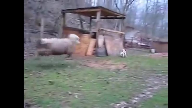 Баран считает себя собакой