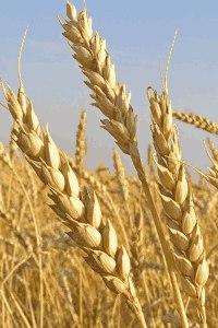 ловля на пшеницу