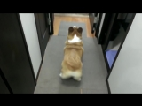 Собака танцует попой как Дженифер Лопез