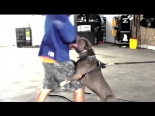 На что способны питбули (легион собак) Питбули лучшие pitbull любите собак собака друг человека