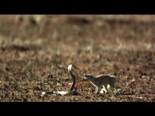 Мангуст атакует кобру. Змея кусает мангуста в замедленной съемке. Кто победит в смертельной схватке