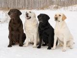 Лабрадор Пэнни или Что собаки и кошки любят в Роднике здоровья.