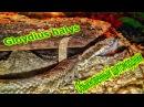 Обыкновенный щитомордник Gloydius halys- пытается первый раз сам съесть голыша