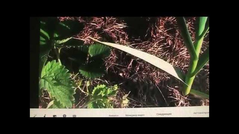 Земляника садовая крупноплодная раннего срока созревания часть - 1Секреты хороших урожаев.