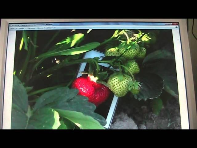 ответы на вопросы по землянике садовой часть 4