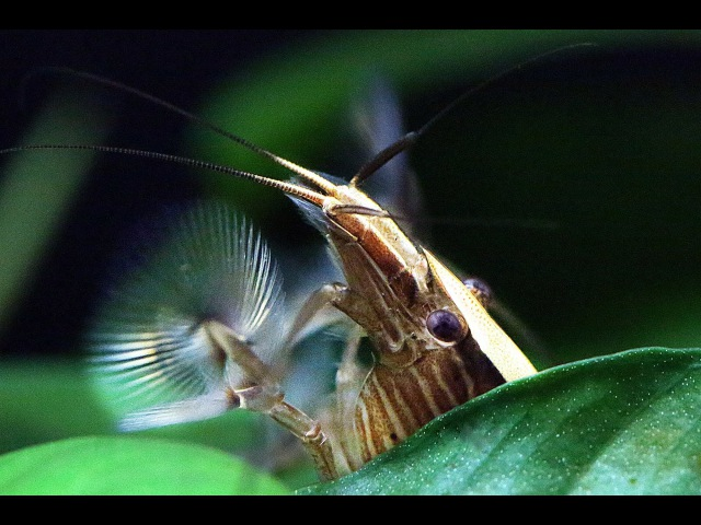 Bamboo Shrimp competes for the best spot in the Aquarium (Atyopsis Moluccensis)