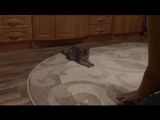 Кот мишка