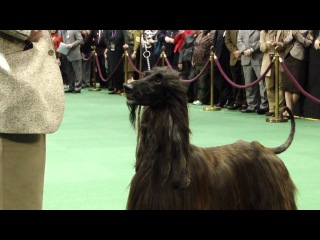 WESTMINSTER DOG SHOW NYC 2010 -22