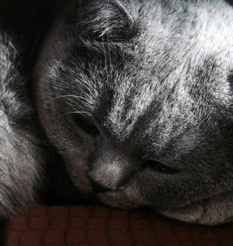 Британский кот Илай