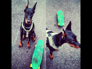 Скейт и Доберман /Skate/Longboard and Doberman