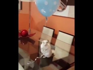 Шиншилла и воздушный шарик