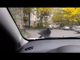 Одинокий голубь