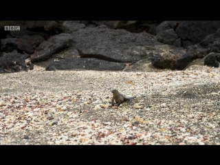 Игуана убегает от змей