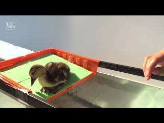 Утенок впервые пытается плавать