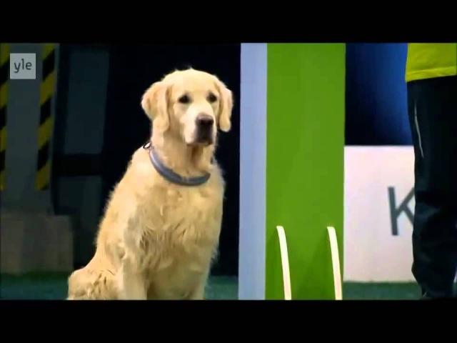 Конкурс собак 2014 Золотой ретривер отжег