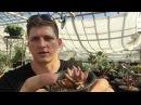 Эчеверия Echeveria уход размножение тонкости выращивания