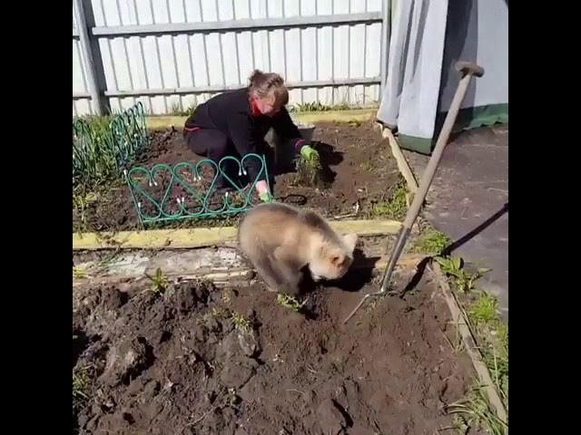 Медведь помогает сажать картошку, это Россия, мать вашу!))
