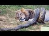Giant Anaconda vs Lion vs Tiger vs Python - Wild Animal Attacks #27