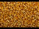 Пьяная Кукуруза для ловли Амура и Карася Простая Ферментация