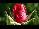 Посадка роз весной в грунт. Как посадить розу
