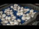 Грибная ферма бизнес прибыльный выращивание грибов