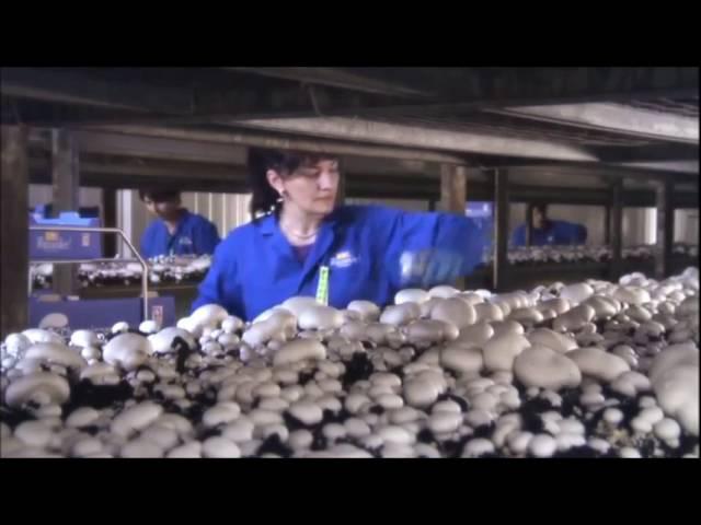 Грибы в домашних условиях | выращивание грибов как бизнес | обучающий семинар | Италия