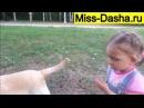 Мисс Даша гуляет с собакой в парке  Самая веселая и лучшая собака   это Лабрадор  Мисс Даша знакомит