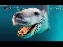 Это милое игривое животное не прочь перекусить пингвином Морской леопард